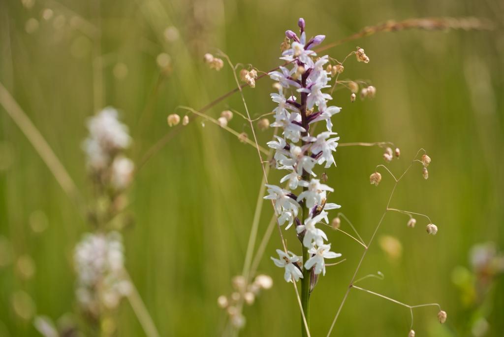 Orchideewiese
