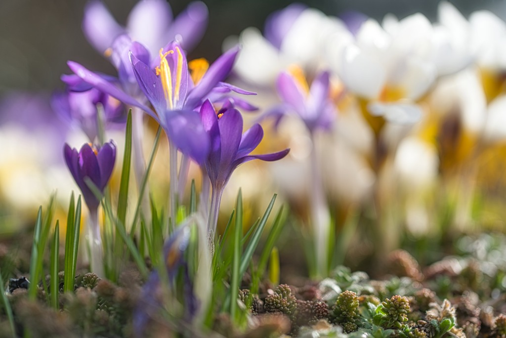 crocus-haiku