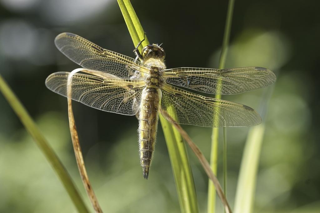 Libelleoffen