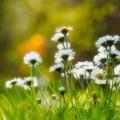 1_last-daisies-small