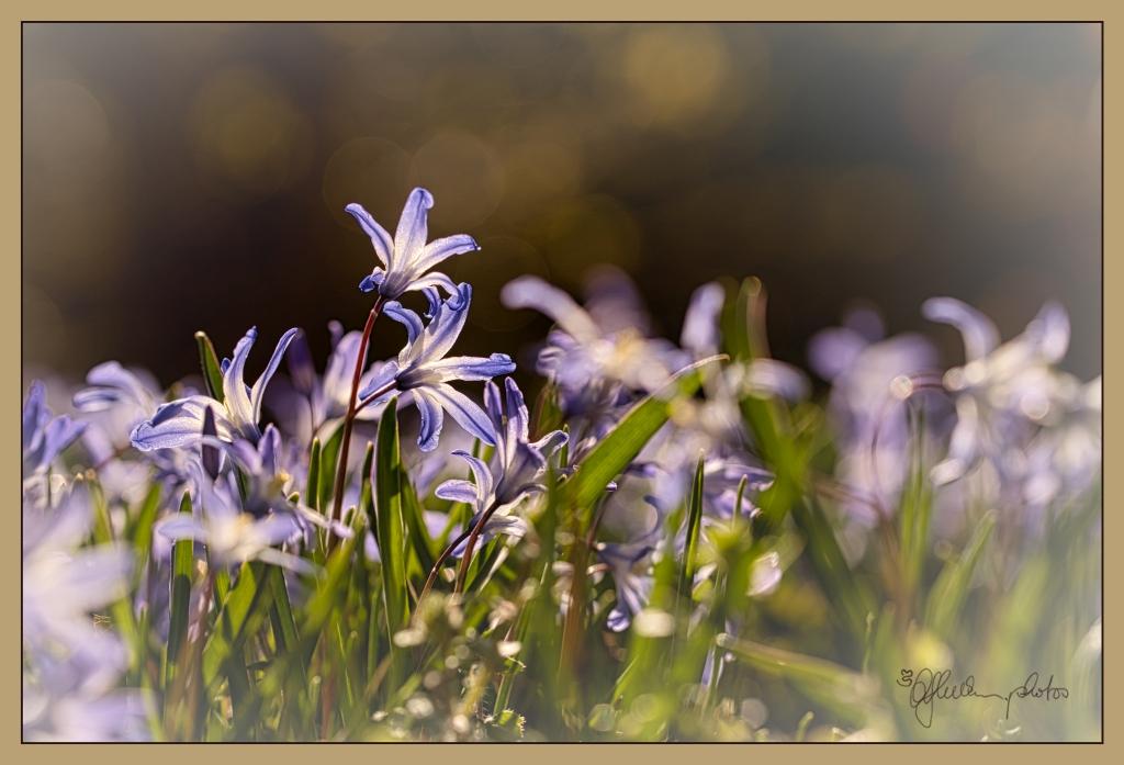 Sternhyazinthe-blau-sign-rand1k