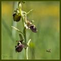 Ragwurz mit Wespe