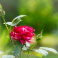 Rose-und-Knospe